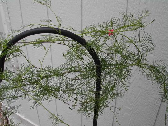 Cypress vine on shepards hook