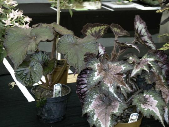 Foilage Begonias (Begonia)