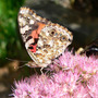 "Painted Lady Butterfly (Sedum spectable ""Brilliant')"
