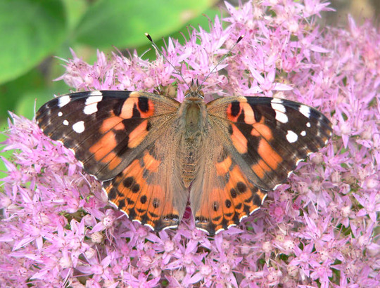 """Painted Lady Butterfly Topwing (Sedum spectable """"Brilliant')"""
