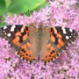 "Painted Lady Butterfly Topwing (Sedum spectable ""Brilliant')"