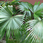 Palm_japanese_maybe_9_08_07_exc_sm