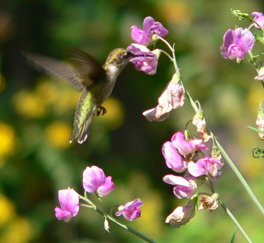 Hummingbird At Sweetpea (Lathyrus latifolius (Everlasting pea))