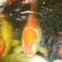 Koy Fish