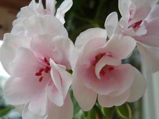Geranium Blanche Roche