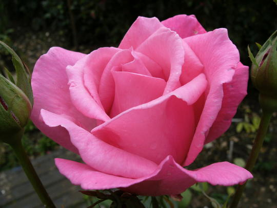 Florabunda Rose    ( don,t know the name )