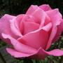 Bush_rose_no_name