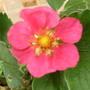 Ornamental Strawberry  (Fragari     red ruby)