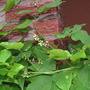 Corkscrew Vine from Flcrazy ! (Vigna caracalla)