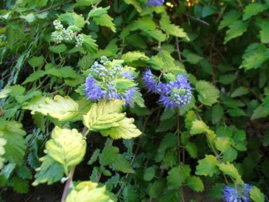 Sunshine blue bluebeard