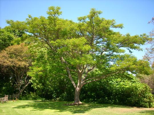 Delonix regia - Royal Poinciana at Fullerton Arboretum, CA (Delonix regia - Royal Poinciana)