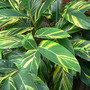 Variegated Tropical Ginger (Alpinia zerumbet 'Variegata')