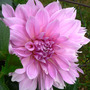 Dahlia_lavender_perfection_9_08_08_exc_sm
