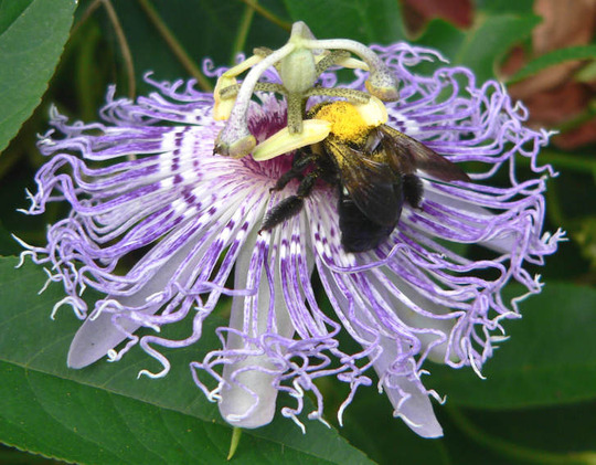 Passiflora incarnata With Friend (Passiflora incarnata (Maypops))