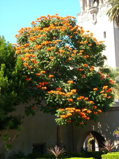 Spathodea campanulata - African Tulip Tree (Spathodea campanulata)
