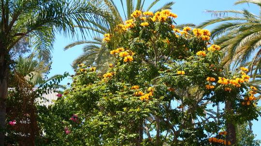 """Spathodea campanulata """"aurea"""" - Yellow/Golden African Tulip Tree (Spathodea campanulata 'aurea"""" ( Yellow/Golden African Tulip Tree))"""
