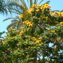 "Spathodea campanulata ""aurea"" - Yellow/Golden African Tulip Tree (Spathodea campanulata 'aurea"" ( Yellow/Golden African Tulip Tree))"