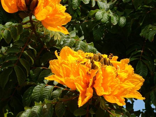 """Yellow/Golden African Tulip Tree -  Spathodea campanulata """"aurea"""" (Spathodea campanulata """"aurea""""  (Yellow/Golden African Tulip Tree))"""