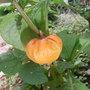 Physalis_franchetii_zwerg_fruit