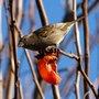 Bird_w_persimmon_b