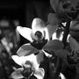 Monochrome_orchid