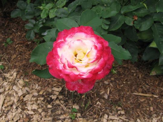 A garden flower photo (Rose Double Delight)