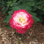 A garden flower photo (Rose Double Delight)