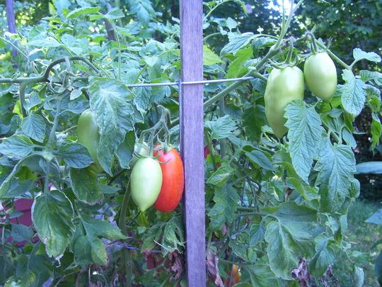 My Romas (Lycopersicon esculentum (Tomato))