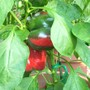 More Red Bells (Capsicum annuum (Sweet pepper))