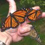 Releasing Monarchs (Asclepias syriaca Common Milkweed)