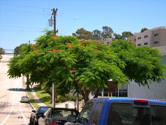Sherman Heights - Delonix regia - San Diego, CA (Delonix regia - Royal Poinciana)