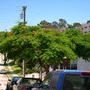 Sherman Heights - Delonix regia - San Diego, CA (Delonix regia - Royal Poinciana)