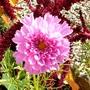 Double pink Cosmos (Cosmos bipinnatus (Cosmos))