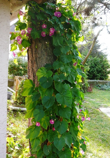 Morning glory on pine tree (Ipomoea purpurea (Morning glory))