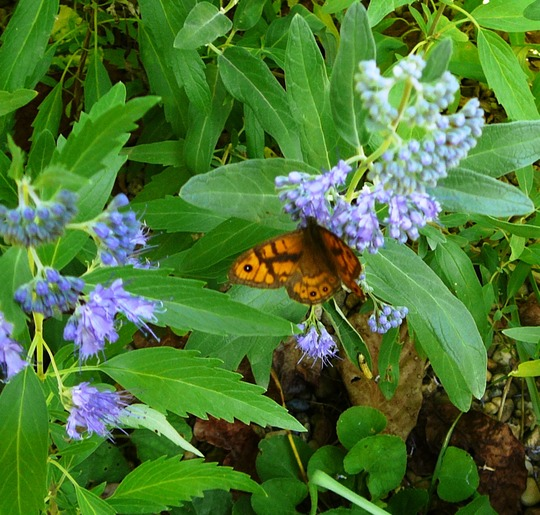 Pretty Wall Brown butterfly enjoying my Caryopteris (Caryopteris clandonensis)
