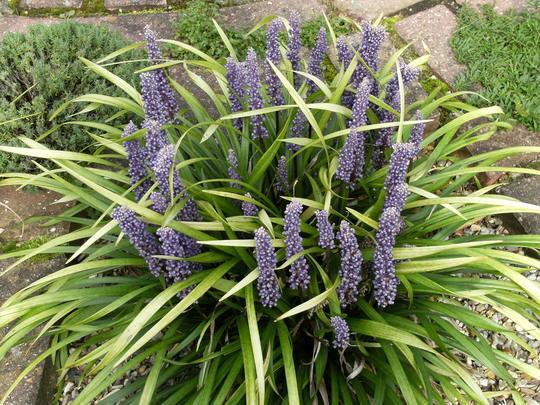 Turf Lily  (Liriope muscari (Lilyturf))