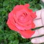 flaurescent rose