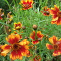 Coreopsis 'Butterfly Dream'