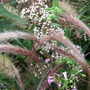 Eupatorium_in_the_border