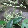 My new Pileostegia has flowered! (Pileostegia viburnoides)