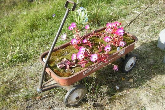 Wagon of daisies (Mesembryanthemum crystallinum (Buzotu))