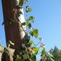 Runner bean (Phaseolus coccineus (Runner bean))