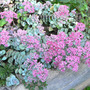 Stonecrop_pink_w_turquoise_leaves_blooms_9_10_08_exc_sm