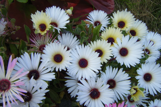 White Daisies (Mesembryanthemum crystallinum (Buzotu))