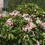 Plumeria rubra - Pink/White/Yellow Flowers (Plumeria)