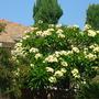 Plumeria rubra - White/Yellow Flowers (Plumeria rubra)