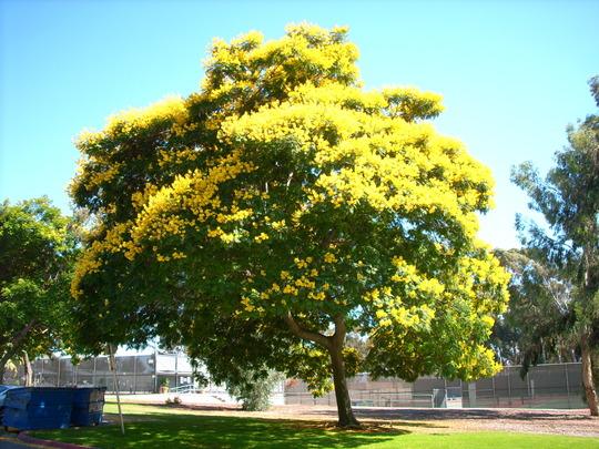 Peltophorum pterocarpum - Yellow Poinciana  (Peltophorum pterocarpum)