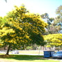 Peltophorum pterocarpum - Yellow Poinciana  (Peltophorum pterocarpum)