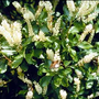 Clethra