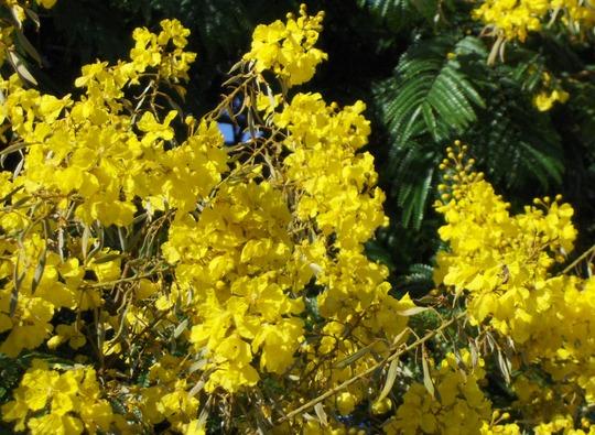 Peltophorum pterocarpum - Yellow Poinciana - Close-up flowers (Peltophorum pterocarpum)